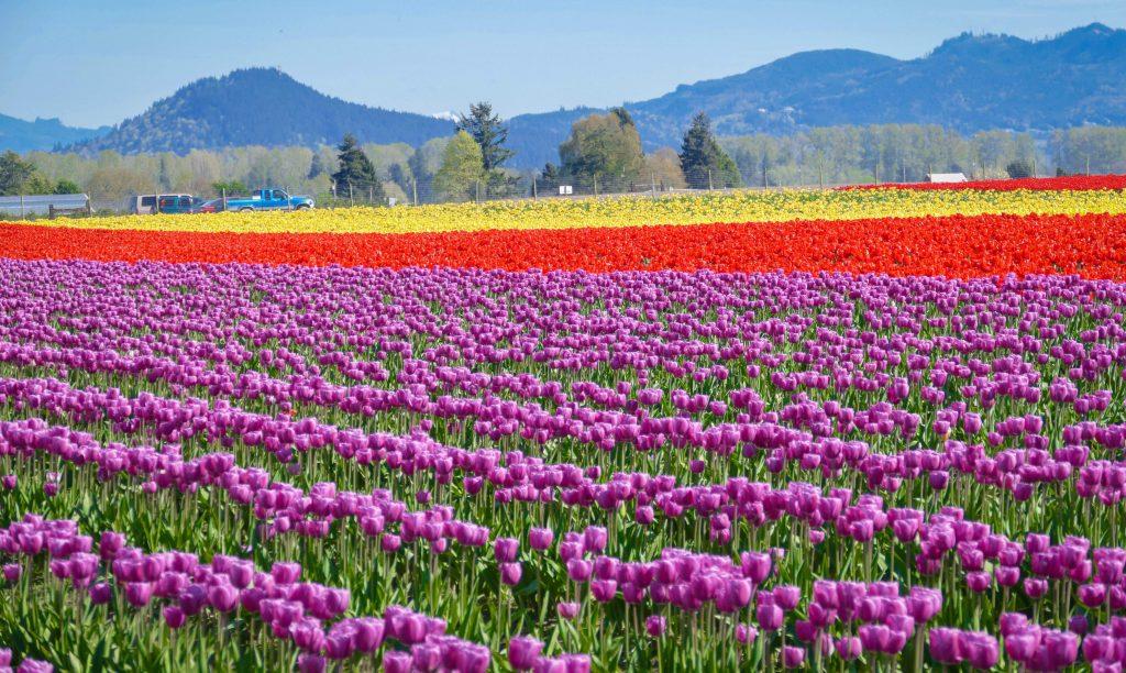 It's Spring Tulip 1